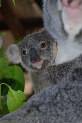 Den nyeste koalababyen! Himmel så søt den er!!! Toffe var så liten sist jeg så henne!!!!!