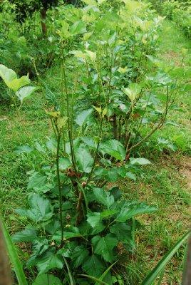 Mulburry - teplante med bjørnebærlignende bær.
