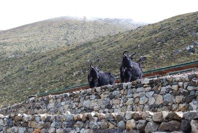 Brødrene yak på utkikk :-)
