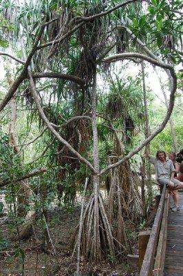 Dette treet kan faktisk gå! Nei, jeg tuller ikke! Det kan faktisk bevege seg opp til 5 cm per år. Ganske imponerende når det er et ordentlig tre med røtter og det hele! Har visst beveget seg hele 25 cm (mot vannet) så langt!!!!