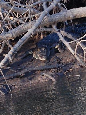 Krokodille! Den første store vi så ute i det fri :-)