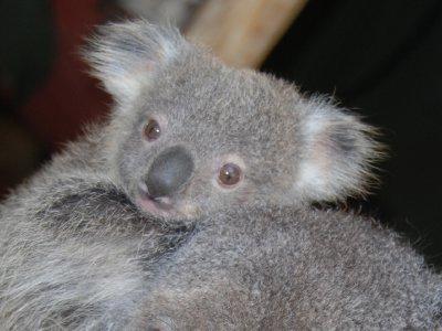 Koala baby! Toffe begynner å bli stor og har nesten ikke plass i Mathildas pung lenger :-)