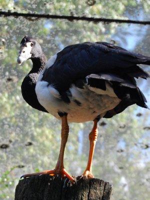 Bobba (eller bow...) er den besteste av de beste fuglene! Han følger etter meg rundt hele parken og er veldig vennlig. Bobba er en gås (tror selv at han er et menneske....) og kan sitte på armen! - fasinerende :-)