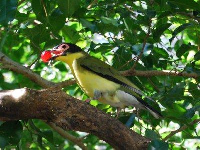 En av parkens mange fugler. Denne bråkete tingen har akkurat stupt etter en drue og fanget den i lufta :-)