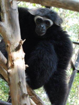 Gibbon ape :-)