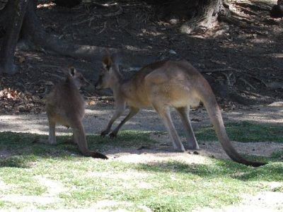 Kenguru mammma og joey :-) Se så søte de er :-) Har sett disse hver dag i en måned nå og blir fortsatt fasinert :-)