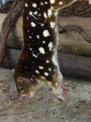 Quall! Clare fanget denne lille (noe djevelske....mer djevelsk enn de tasmanske djevlene faktisk.....) fordi den hadde så på halen og dermed måtte behandles. Enden på visa var at vi like godt rengjorde hele buret og omdekorerte litt :-)