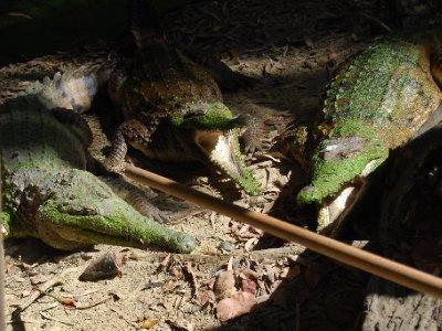 CSCAgressive krokofanter før middagsservering!