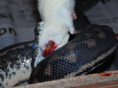 Georg koser seg med en rotte (nei Georg jeg tuller ikke....denne noe irritable pytonslangen heter faktisk Georg :-))