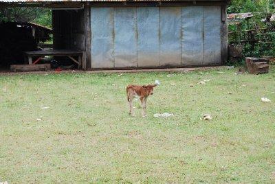 Ensomme kalven Kine; vi hadde tenkt å ta henne med oss på turen tilbake, men det regnet så fælt at hun måtte bli igjen stakkars!