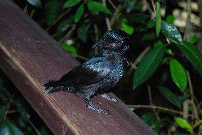 Wiskers! Denne lille svarte skapningen har faktisk værhår rundt nebbet) som hjelper han å oppdage og fange insekter i bevegelse!!!! - fasinerende!!!!