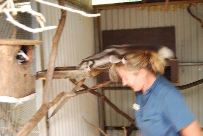 Hodet til Kat er et spennende sted! Ble spenennde for den frivillige også når possumen bestemte seg for å hoppe :-)