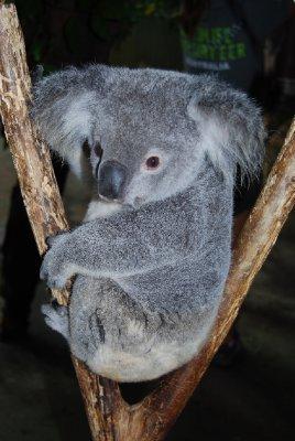 Sybil! Nydelig Sybil er den fantastiske lille koalaen som har en uke gammel baby i pungen sin :-)