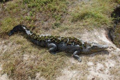Mosegrodd krokodille - hehe!