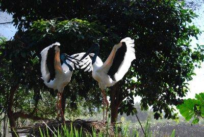 Denne fantastiske dansen danser storkene hver gang de møtes oppe på redet!!!!!