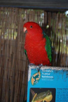 King parrot! - tingen lager en sinnsykt høy lyd som gir gjennlyd i hele domen! - hold for øra folkens!!!!