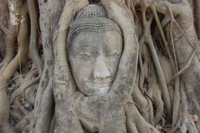 buddha's head & bodhi tree
