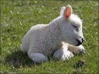 derwent_lamb_470x354