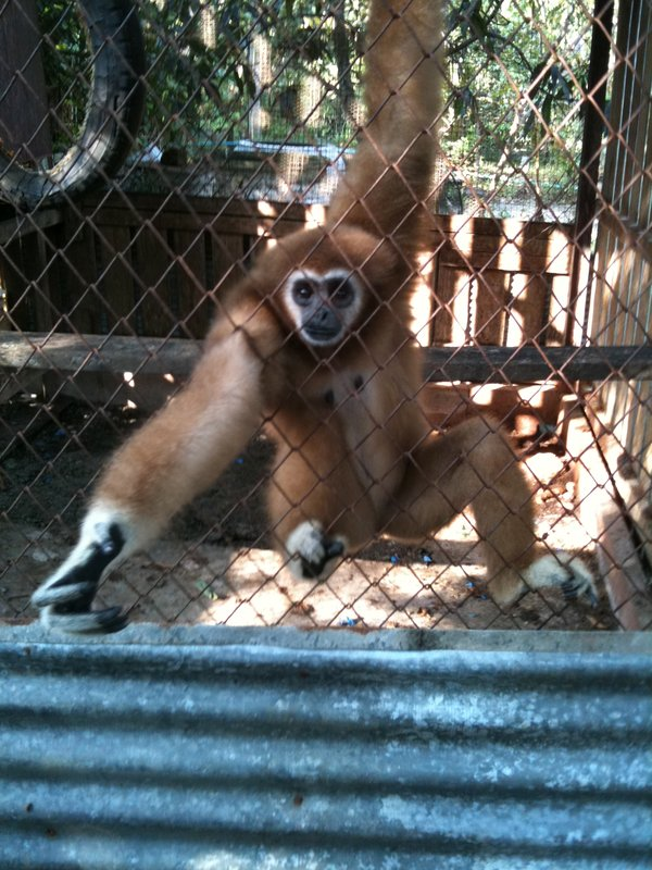Monkeys in a cage