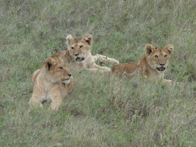 Lion cubs! Tanzania