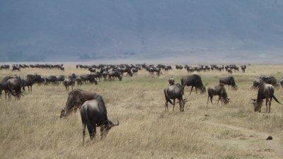 Wildebests in the Serengeti, Tanzania