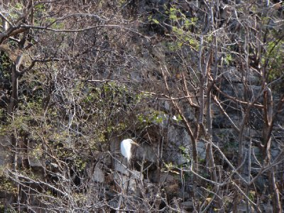 Sumidero Canyon - Kormoran