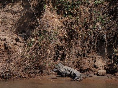 Sumidero Canyon - crocodile