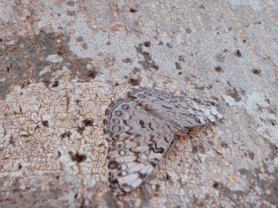 Chichen Itza 2 moth