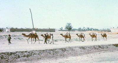 Camel train, south of Kabul