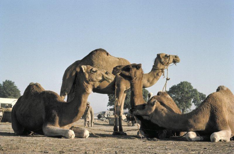 Camel Market in Kabul