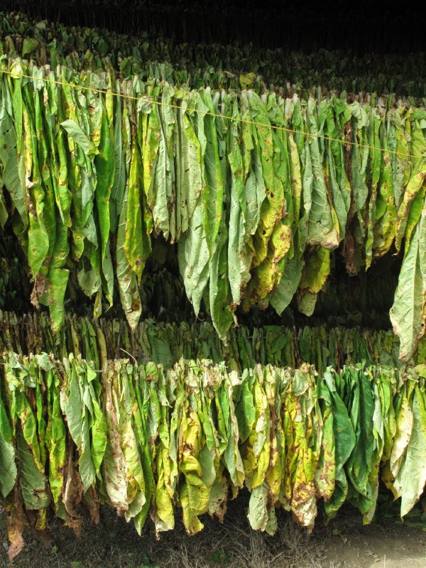 Tobacco hung out to dry