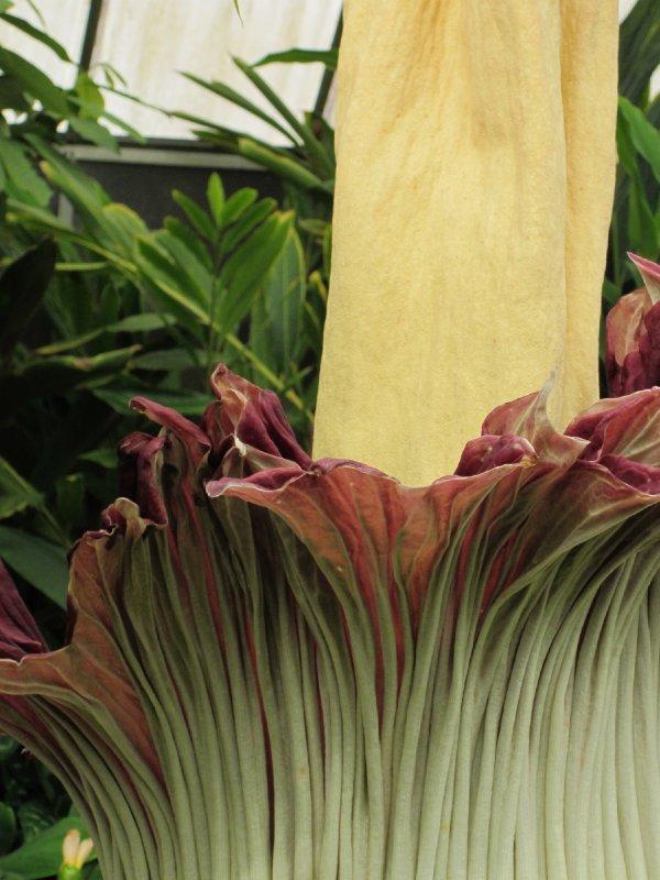 Titan Arum - Corpse Flower