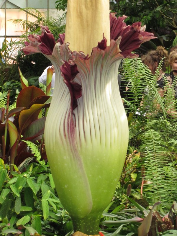 Titan Arum - Corpse Flower