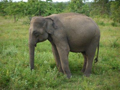 Elephant_a.._Walawe.jpg