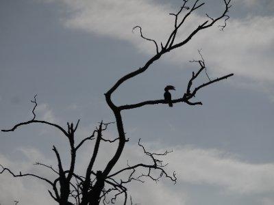 Hornbill_a.._Walawe.jpg