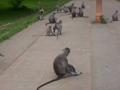 Monkeys invade the path