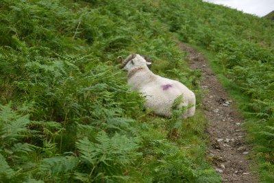 SHEEP_.jpg