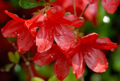Red Flowers in the Rain