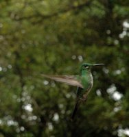 Green Humming bird