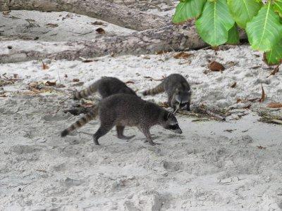 Coatis in Manuel Antonio National Park