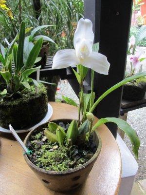 Guatemala's national flower: the monja blanca