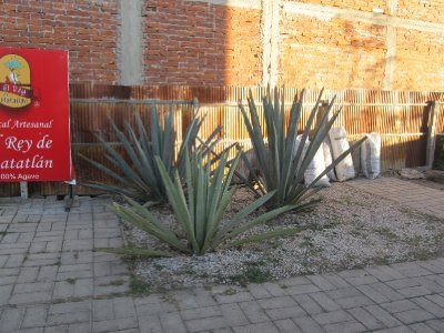 Agave used to make mezcal
