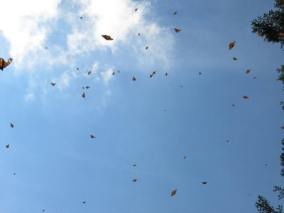 The sky filled with monarch butterflies