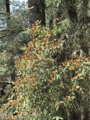 Branches full of monarch butterflies