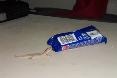 ...Finally, our little friend was attracted by the sweet smell of Oreos...