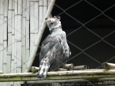 The grounded harpy eagle