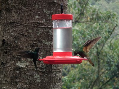 Hummingbirds landing for a drink