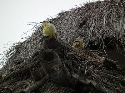 Baby birds in the nest in the church gable end