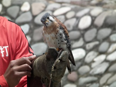 The cutest of the bunch, the American kestral