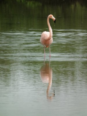 A flamingo and its reflection in the rippling water